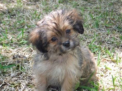 what does a shih tzu pomeranian look like shih tzu mix photos thriftyfun
