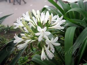 agapanthus africanus f albus white lily of the nile