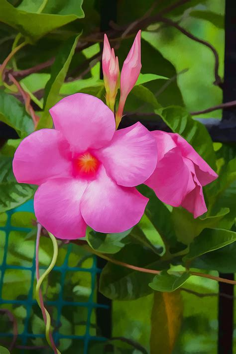 Mandevilla Pink 1 pink mandevilla flower vine photograph by rich franco