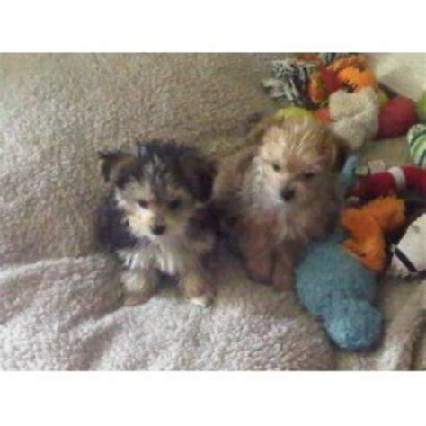 yorkie rescue toronto pin breeder tiny teacup morkie puppies wwwmorkiesca in toronto canada on