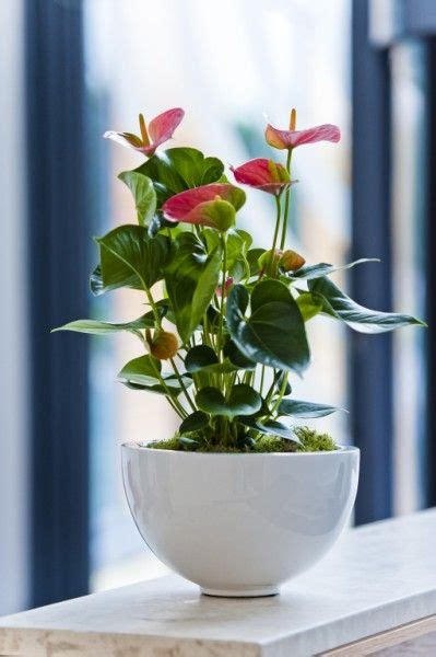 pink anthurium flowering display  shiny white pot