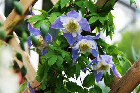 Clematis Alpina Blue Princess 2600 by Steingarten N 252 Tzen