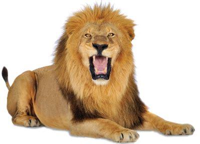 roaring lion png www pixshark com images galleries