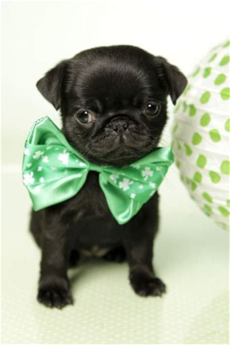 teacup black pug 17 best images about teacup pug on teacup poodle puppies puppys and so