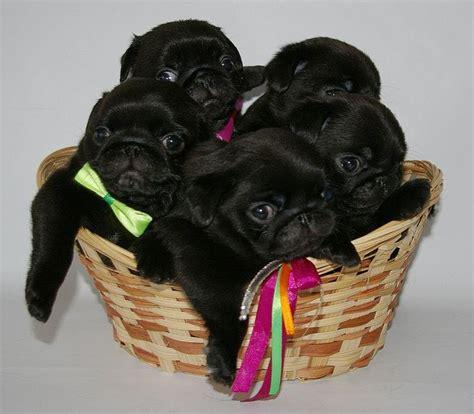 all black pug puppies 448 best black pug puppies images on