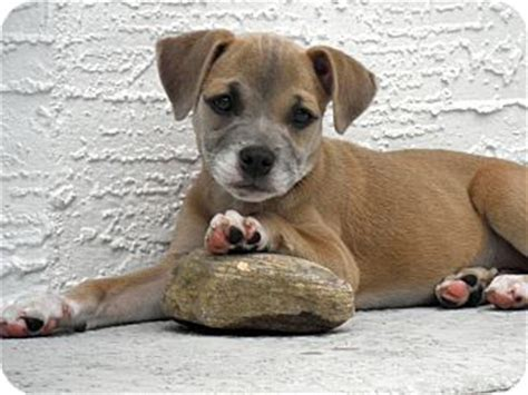 pug boxer mix puppies for sale boxer pug mix dogs images frompo