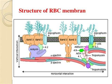protein lipid ratio erythrocyte membrane hereditary spherocytosis asif new