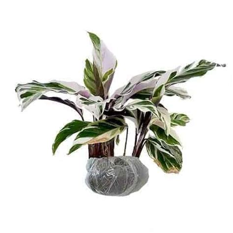 Tanaman Hias Calathea Saputangan jual tanaman calathea saputangan bibit