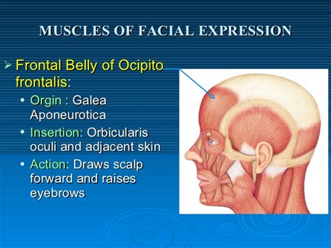Muscles Of Facial Expression Frontalis Muscle Origin Insertion Action