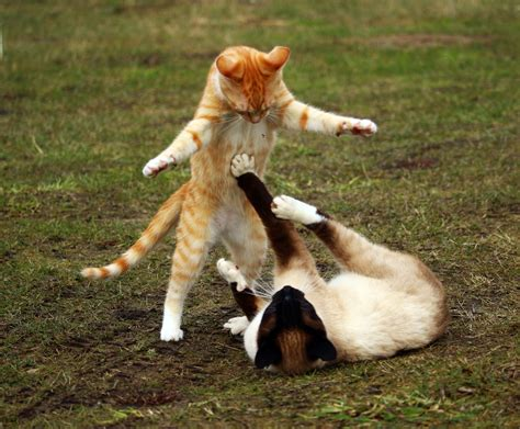 Free Images : play, kitten, mammal, playful, fight