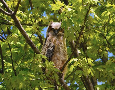 owl family makes itself at home in hinsdale the doings