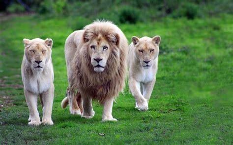 imagenes de leones full hd fondos de pantalla de leones wallpapers
