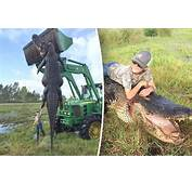 Giant Alligator As Big CAR Caught Eating Cows  Daily Star