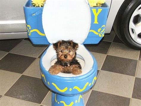 toilet a shih tzu puppy potty a shih tzu puppy at home and outside