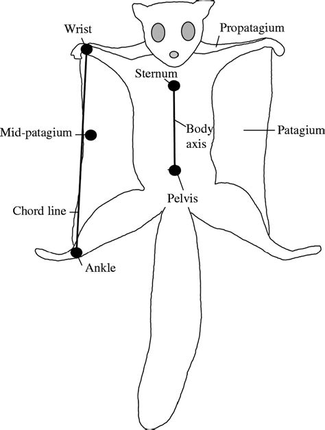 squirrel anatomy diagram the relationship between 3 d kinematics and gliding