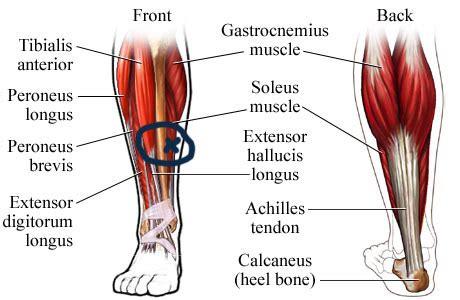 calf diagram calf muscles diagram calf get free image about wiring