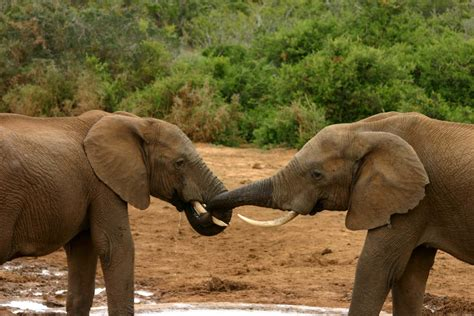 file elephant mating ritual 3 jpg