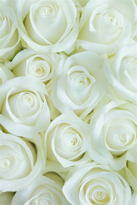 wallpaper iphone 6 rose iphone 6 wallpaper white roses many hd wallpaper