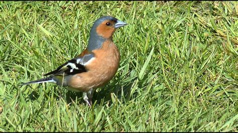 chaffinch bird call bird song youtube