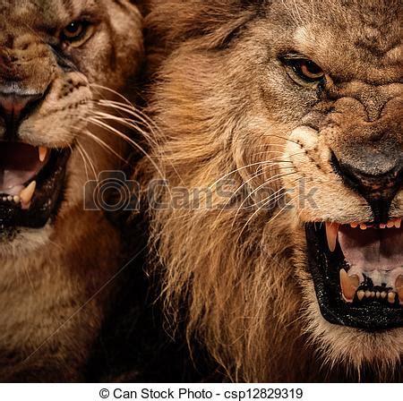 film lion rugit stock foto nahaufnahme kugel von zwei br 252 llen l 246 we