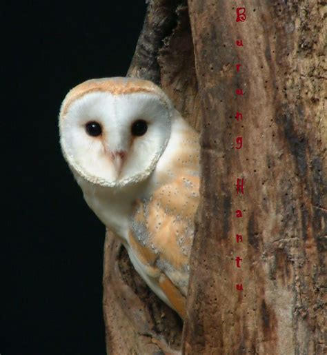 wallpaper anak burung hantu informasi hewan peliharaan kita burung hantu berbagai