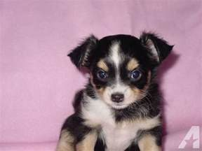 chihuahua tri color hair ckc 7 weeks for