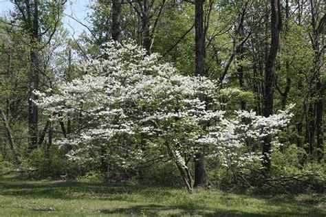 flowering dogwood tree facts
