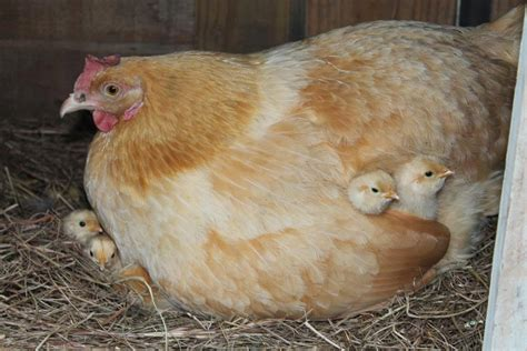 how to raise laying hens in your backyard how to raise laying hens in your backyard 28 images