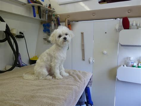 grooming a maltese grooming by angela s pet styling mobile grooming salon in portland oregon