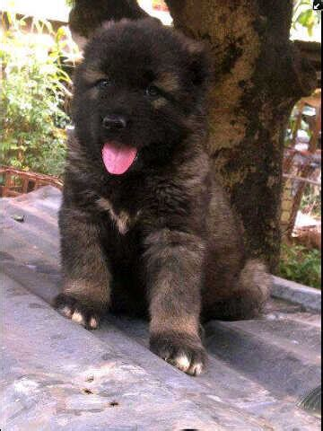 my female semoyed dog is not eating oooo and she is pregnant pets nigeria i have pure breed caucasian puppies for sale pets nigeria