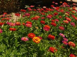 What Zone Is California In For Gardening - zinnia garden by mickeyd gardentenders com