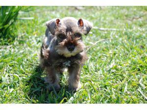liver schnauzer puppies for sale miniature schnauzer puppies for sale akc schnauzer puppies chocolate liver