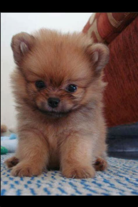 haired pomeranian puppies 1000 images about cuties puppies on blue shar pei beagle puppies
