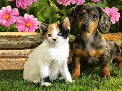 pictures of cats and dogs pictures of dogs and cats together pictures of animals 2016