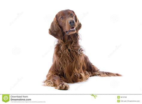 irish setter dog time irish red setter dog stock photos image 9672763