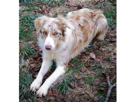 border collie puppies for sale in ky border collie puppies in kentucky