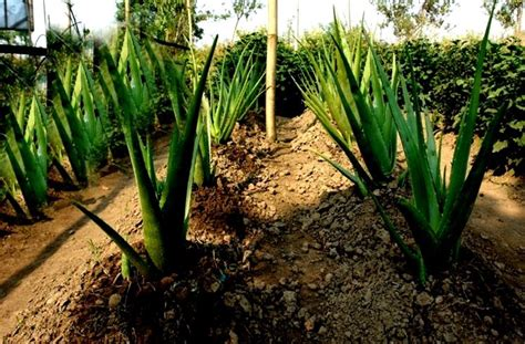 aloe arborescens coltivazione in vaso coltivazione aloe piante grasse come coltivare l aloe