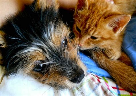 16 week yorkie week yoranian puppyher is pom and is yorkie photo breeds picture