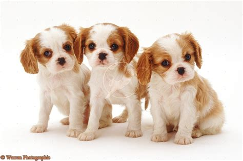 king charles puppy images for cavalier cavalier king charles spaniel puppies 6 breeds picture