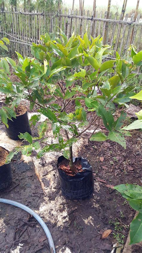 Bibit Jambu Air Dalam Pot jual bibit tanaman buah 0878 55000 800 tanaman buah