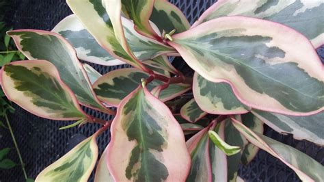 peperomia variegated in pink white and green beautiful house plant other plants seedlings