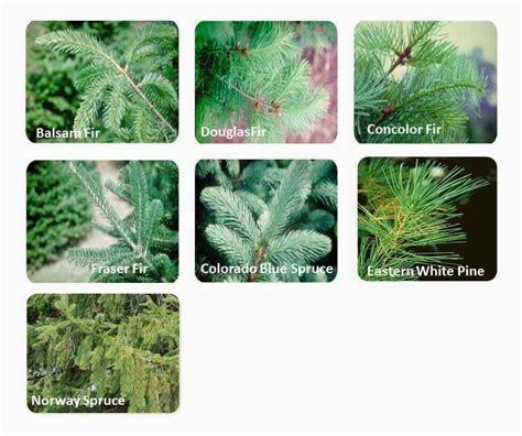 different types of evergreen trees www pixshark com