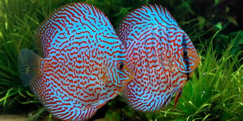 bright colored fish 10 most colorful freshwater fish the aquarium guide