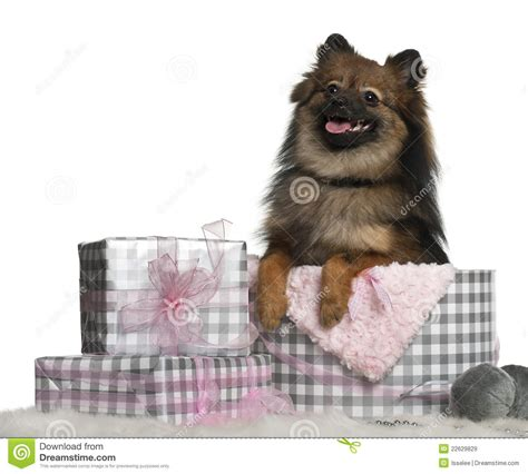pomeranian gift ideas pomeranian with gifts royalty free stock images image 22629829
