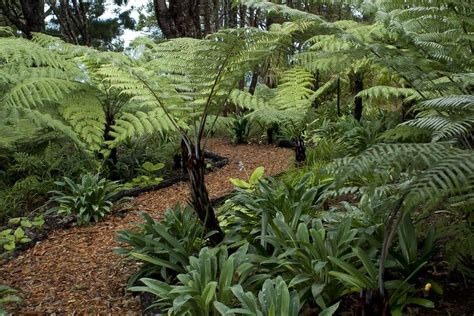 Fern Garden Ideas Bark Path Through The Tree Ferns And Kauri At Omaio Garden Matakana New Zealand