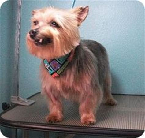 silky terrier with haircut australian terrier haircut best wedding hairs