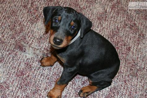 doberman pinscher puppies for sale in pa doberman pinscher puppy for sale