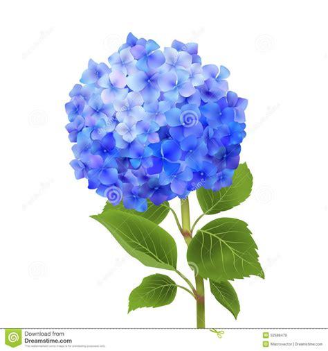blue hydrangea clipart clipground