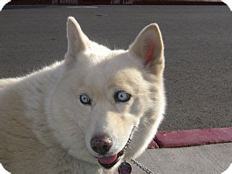 husky puppies las vegas 47 best images about samoyed mixed on border collies chow chow mix and