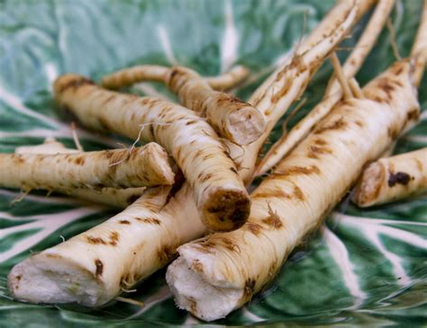 temperate climate permaculture permaculture plants horseradish